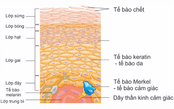 Tế bào chết là gì?
